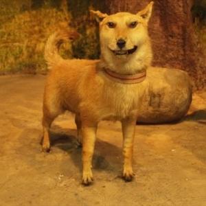 【悲報】ニホンオオカミ、ただの犬だった・・・『これは淘汰されて当然』『生命への冒涜を感じる』『ジャップはまた負けたのか』
