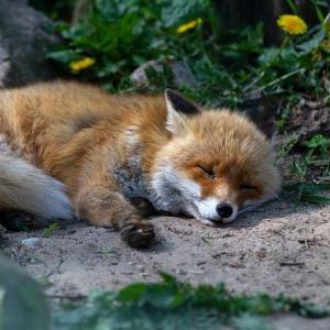 【画像】どちゃクソエッチな狐さん、発見される『エッッッッッッ!』『人間に媚びてるな』『スケベすぎる』『こういうのでいいんだよ』