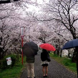 雨中の花見