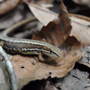 美しい里山公園 生き物図鑑 ① ニホンカナヘビ