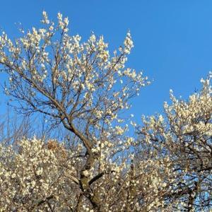 2020年梅の木