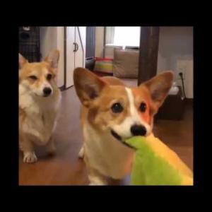 可愛い、おもしろい犬  プリプリ コーギー君の動画。