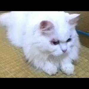 猫ちゃん狙うがなかなか動かず じれったい♥かわいいねこ おもしろ動画
