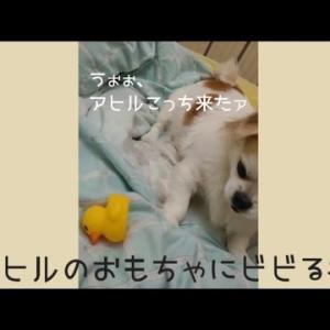 アヒルのおもちゃにビビる犬 その2【おもしろ動画】