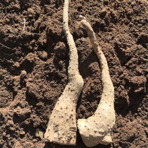 長芋植えました