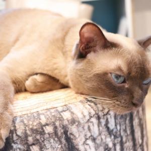 毛の色が全然違うシャム猫