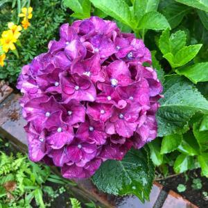 我が家の紫陽花♫