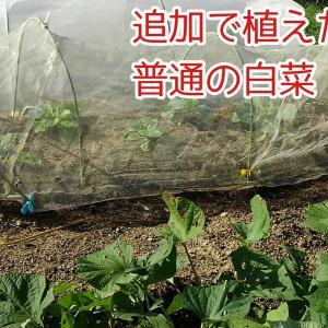 端っこに植えた白菜はミニミニだった