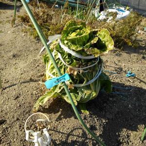 最後の白菜の収穫