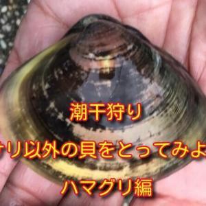 潮干狩り アサリ以外の貝をとってみよう! ハマグリ 編