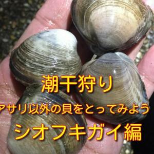 潮干狩り アサリ以外の貝をとってみよう! シオフキガイ(シオフキ貝)編