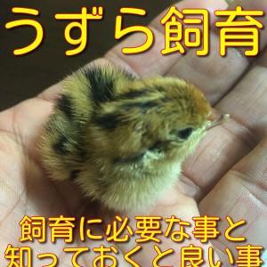 うずら飼育 入手方法から餌など飼育に必要な事と知っておくと良い事「卵の孵化~成鳥の飼育」