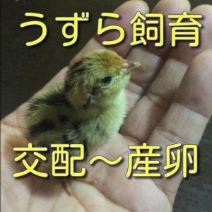 うずら飼育 卵を産ませて孵してみよう 交配~産卵 感動!命の誕生!!