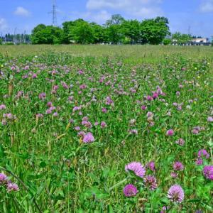 大草原の小さな・・・みたいなお花畑。(2020年6月12日)
