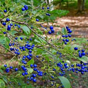 秋の青い実と青い花(2020年10月15日)