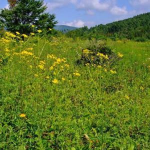 早坂高原でキキョウ、オミナエシを見た。(2011年8月9,11日)