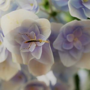 自宅の紫陽花とカマキリ