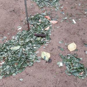 このはっぱはアカシアの葉ではないかと思われる。