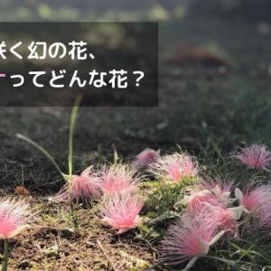 サガリバナは西表島でいつ見れる?場所や見頃は?一夜だけ咲く神秘の花