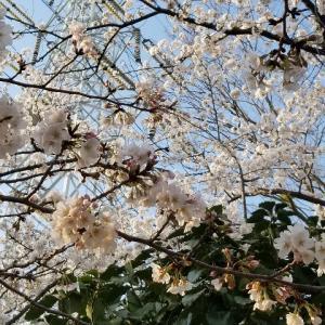 桜は満開ですが、今週も…