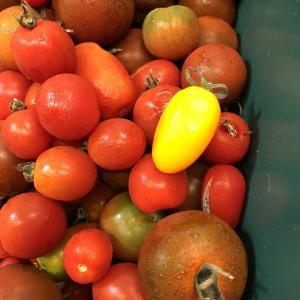 有機無農薬トマト(●´ω`●)