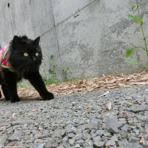 【前が、前が見えニャいんだーッ!】黒猫キキくん