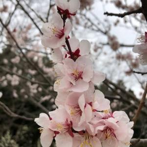 実験17日目 神社と梅の花