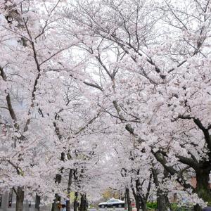 【京都】祇園白川~疎水