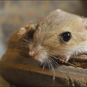 「知られざる小動物の世界」にトビネズミが!