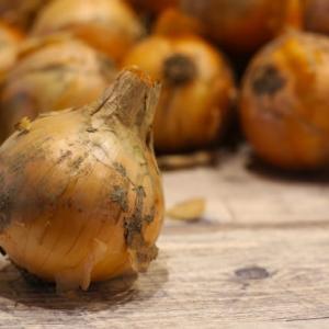 玉ねぎ栽培に挑戦 保存がきくネオアースを植えてみた