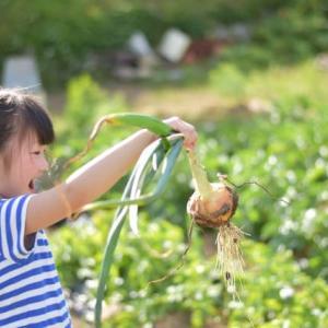玉ねぎの収穫!時期の目安や天日干し、保存方法について調べてみた