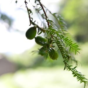 榧の苗木 天然自生の苗を取ってきました。