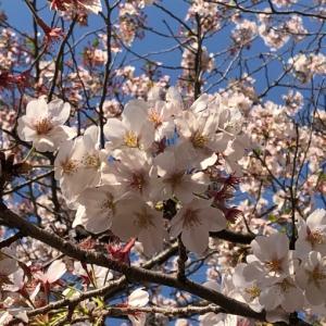 桜の季節に🌸