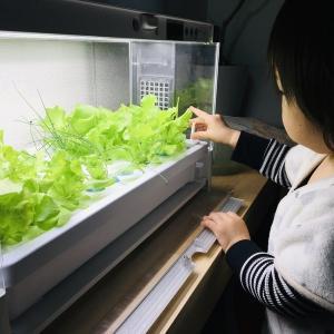 【我が家の食育】水耕栽培をやってみて感じたメリットとは?