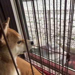 柴犬はる氏、雪を初めて見る