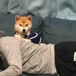 柴犬はる氏のおもしろ写真 #柴犬 #画像 #かわいい