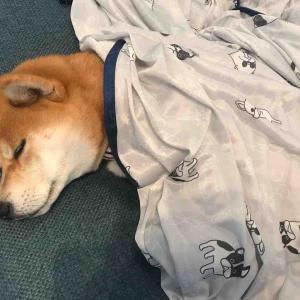 柴犬はる氏、布団をかけて寝る