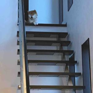 柴犬はる氏、階段の上が好き