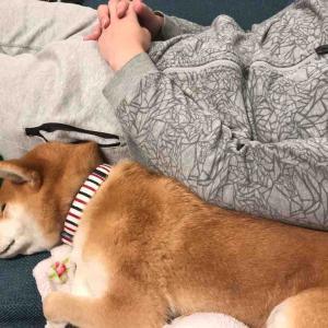 柴犬はる氏、パパさんとお昼寝