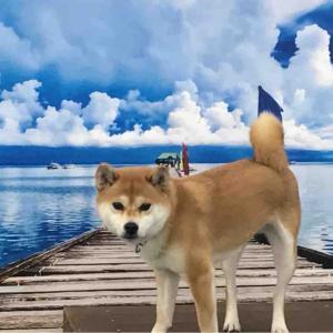 柴犬はる氏、海辺に行ってきました??