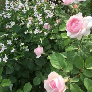 やっと薔薇咲き始めました