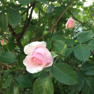 今年のバラ開花一号