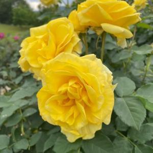 クララと薔薇園へ