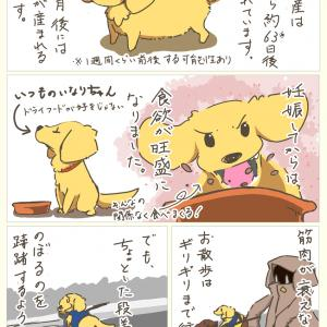 犬の多頭飼い暮らし漫画:第7話「パピーズ3姉妹が生まれるまで③」【愛犬の出産物語】