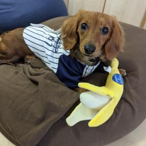 多頭飼い犬日記:バナナとトウモロコシ