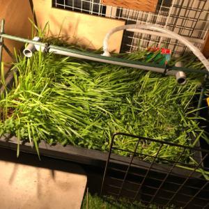 ねこ草と小松菜