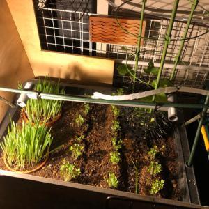 猫草とウサギの小松菜栽培