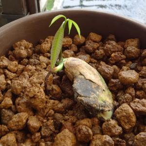 眉ティントとマンゴーの芽