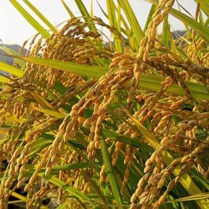 米づくりを公共事業にする新時代:未来の子孫に残す稲作技術