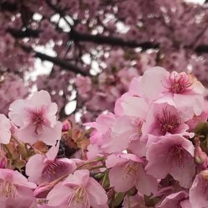 汐入公園の河津桜